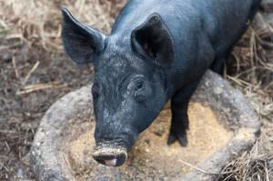 Porc noir de Jeju