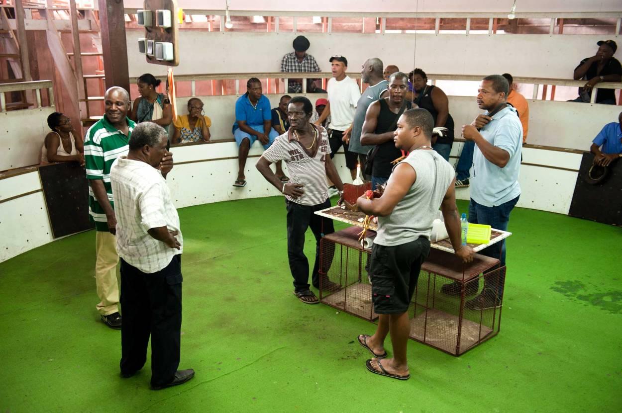 Martinique: Pitt Félix Casérus, combats de coqs à Sainte-Marie