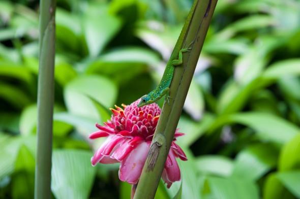 """""""Anoli"""" et Rose de Porcelaine au Jardin de Balata"""