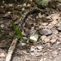 l'îlet Chancel et ses iguanes